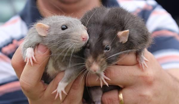 Ratas como mascotas de escritores